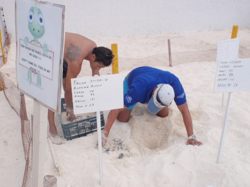 Turtles hatching in Cancun
